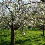 Apples-In-Spring
